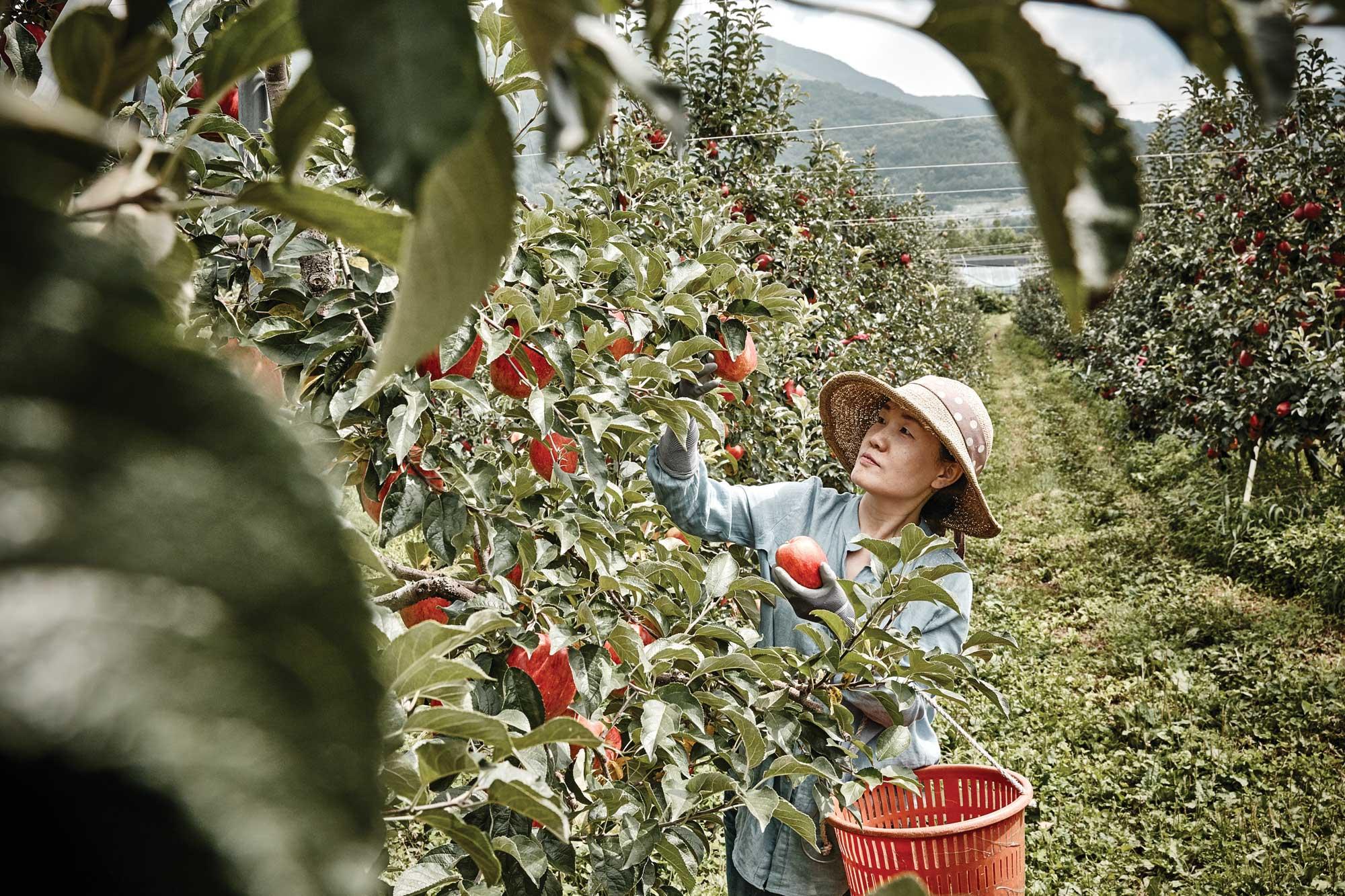 유선영 농부와 가족이 함께 일군 사과 농원은 가족 모두의 소중한 터전이자 자랑거리다. ©심윤석