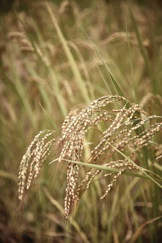 자광도는 250년 된 쌀이다. 중국에서 사신이 가져온 것으로 자색빛이 돈다. 김포 지역에서 키우던 것으로 잘 쓰러지는 것이 문제다. 개량종에 비해 수확량이 2⁄3정도 밖에 되지 않는다. 독특해서 임금님에게 진상하던 것이다. 현재 우보농장에서 가장 많이 키우는 쌀이기도하다. ©심윤석
