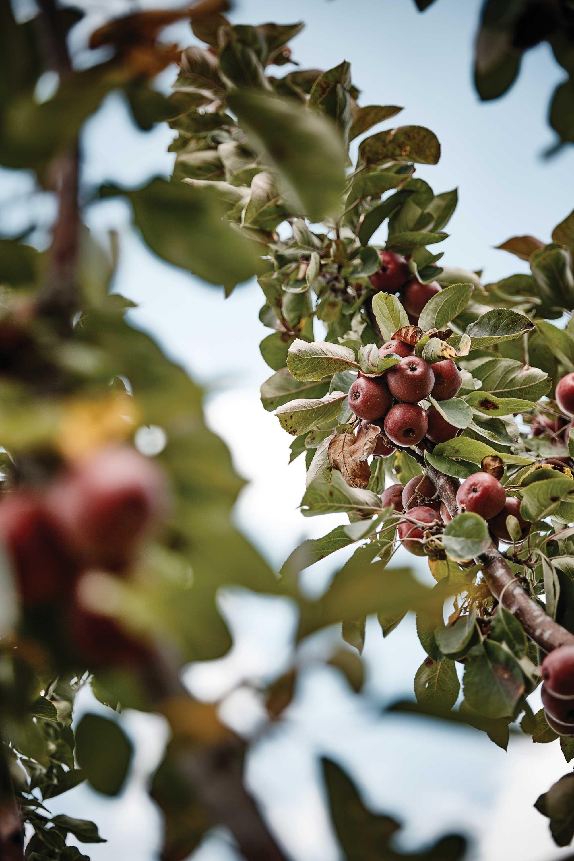 작은 크기의 메이폴은 새콤한 맛이 강하고 과육이 붉어 체리사과라고도 불린다. ©심윤석