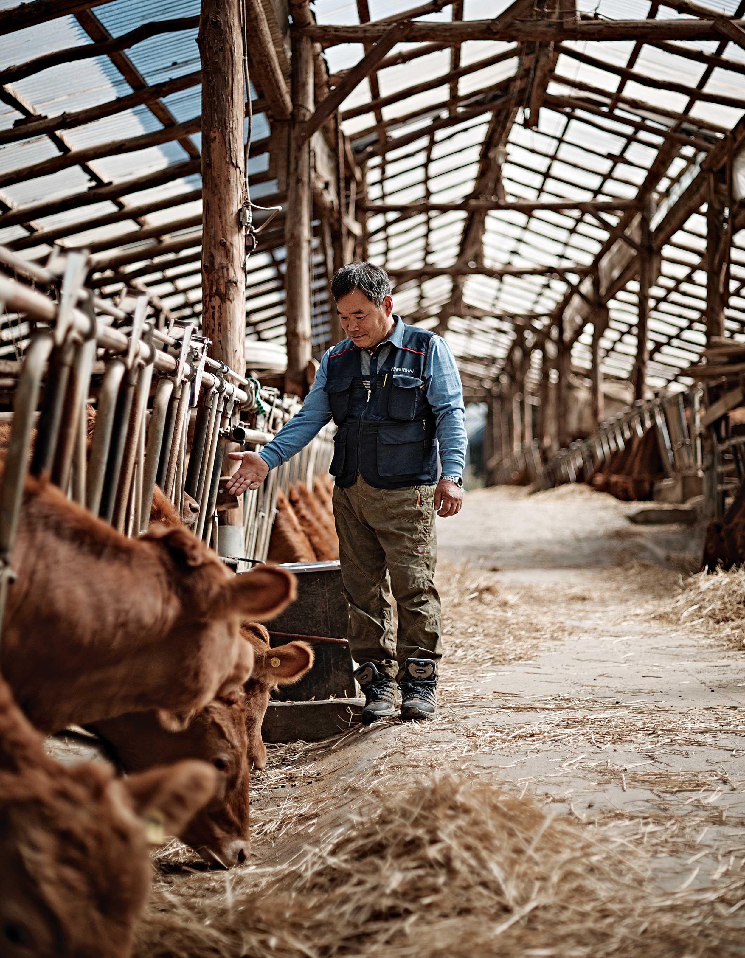 박흥수 축산 농가는 대관령에서 가장 큰 규모의 농가로 40년 동안 우직하게 소를 키워냈다.© 심윤석, 박재현, 양성모
