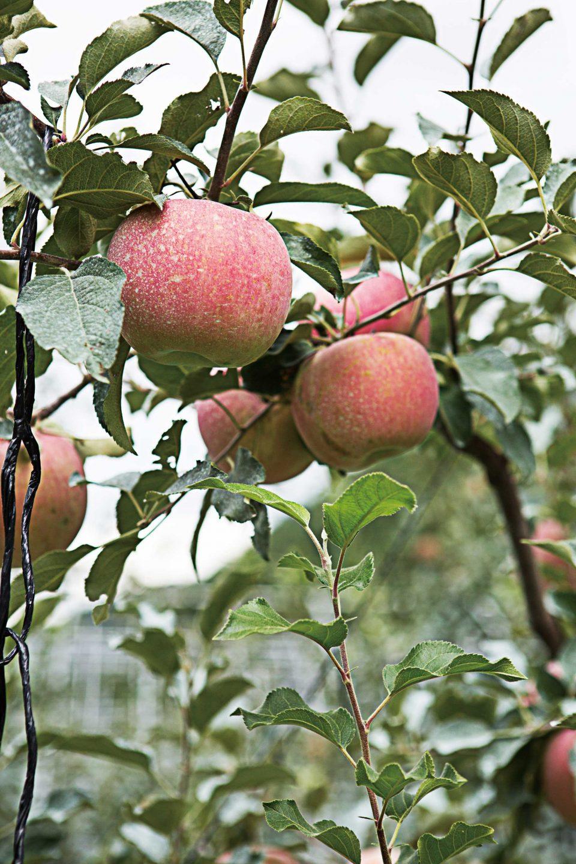 0929-apple2