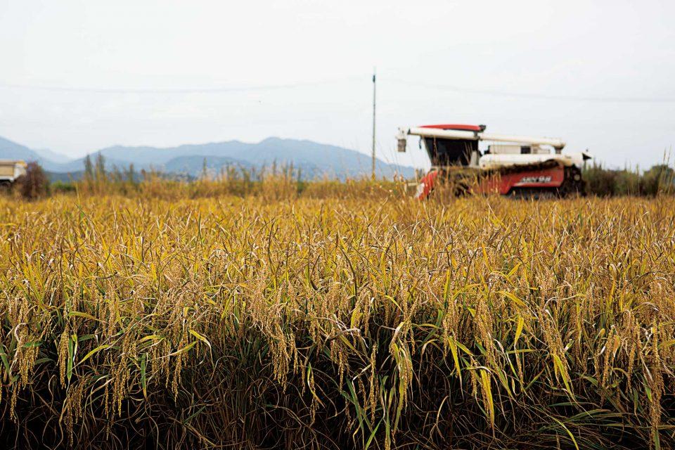 민통선 넘어 청정 지역에서 재배 수확되는 오대쌀.