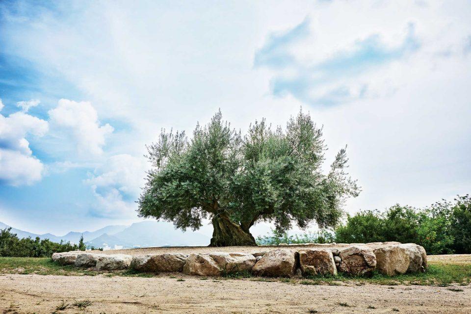 1000년 이상의 수령인 올리브 나무는 쇼도시마의 명물이다. 오랜 세월을 오롯이 머금고 있는 듯한 나무의 모습은 비범했다.