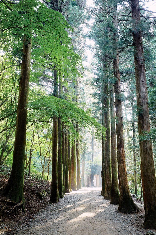 대한다원에서 녹차밭으로 향하는 길엔 삼나무와 편백나무가 빼곡히 심어져 있다.