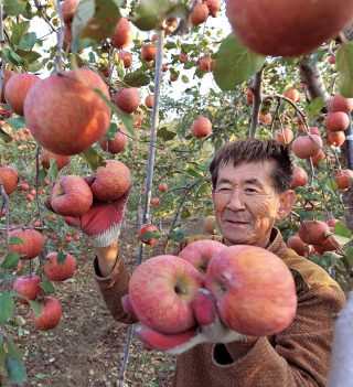 한국애플리즈가 거래하는 사과 농장.