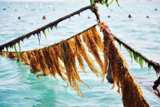 청산도 양식장의 전복은 김이나 미역, 다시마를 먹고 자란다.