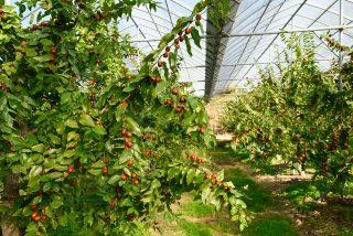비가림 재배 시설에서 수확하는 명품 생대추.