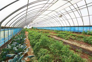 다발무, 당근, 순무 등 뿌리채소가 재배되는 비닐하우스. 다품종 소량 생산을 하고 있다.