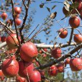 700미터 고냉지에서 자연농법으로 키운 사과는 단단하고 당도가 높다.