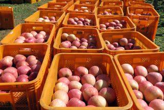 민들레 농원 사과의 대부분은 해외로 수출된다.