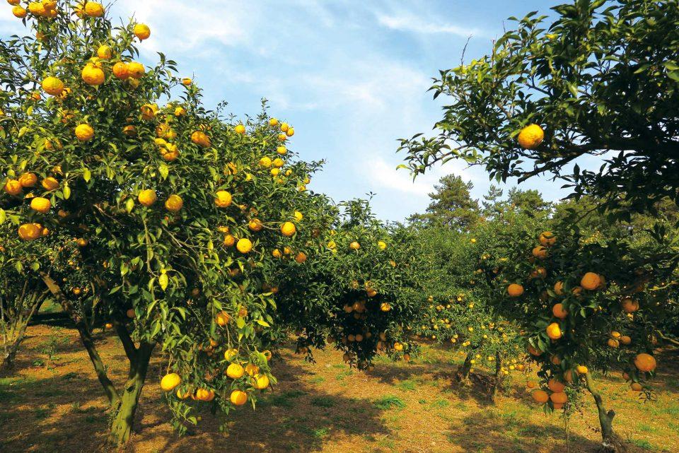 GAP 인증 유자농장. 건강한 유자나무가 좋은 유자를 맺는다.