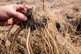 특수 농법 재배 약도라지는 크기와 효능이 월등하다.